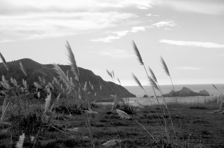 Pacifica Grass
