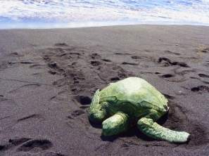 Sea Turtle on the Big Isand